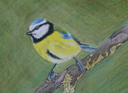 Blue Tit (Sketch)