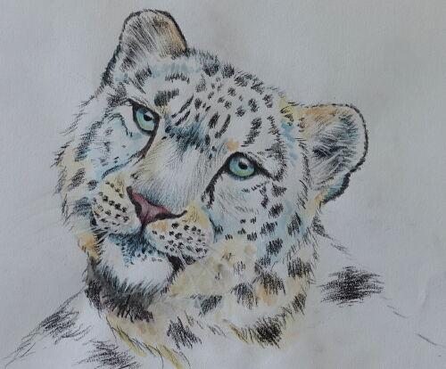 Snow Leopard (Study)