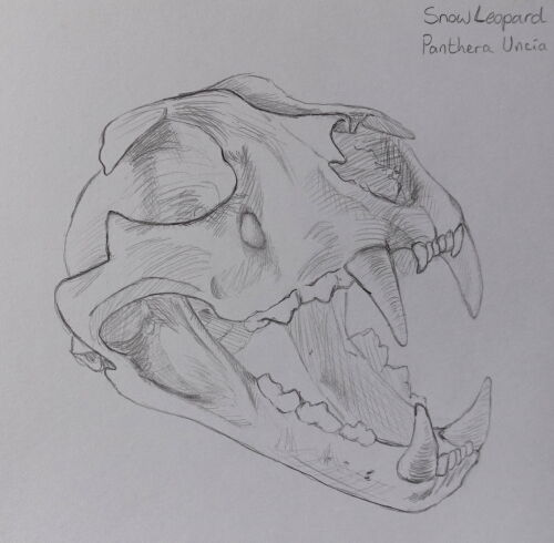 Snow Leopard Skull Sketch