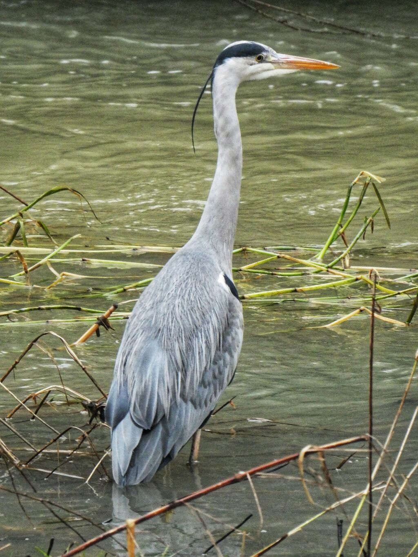 Heron, River Cherwell