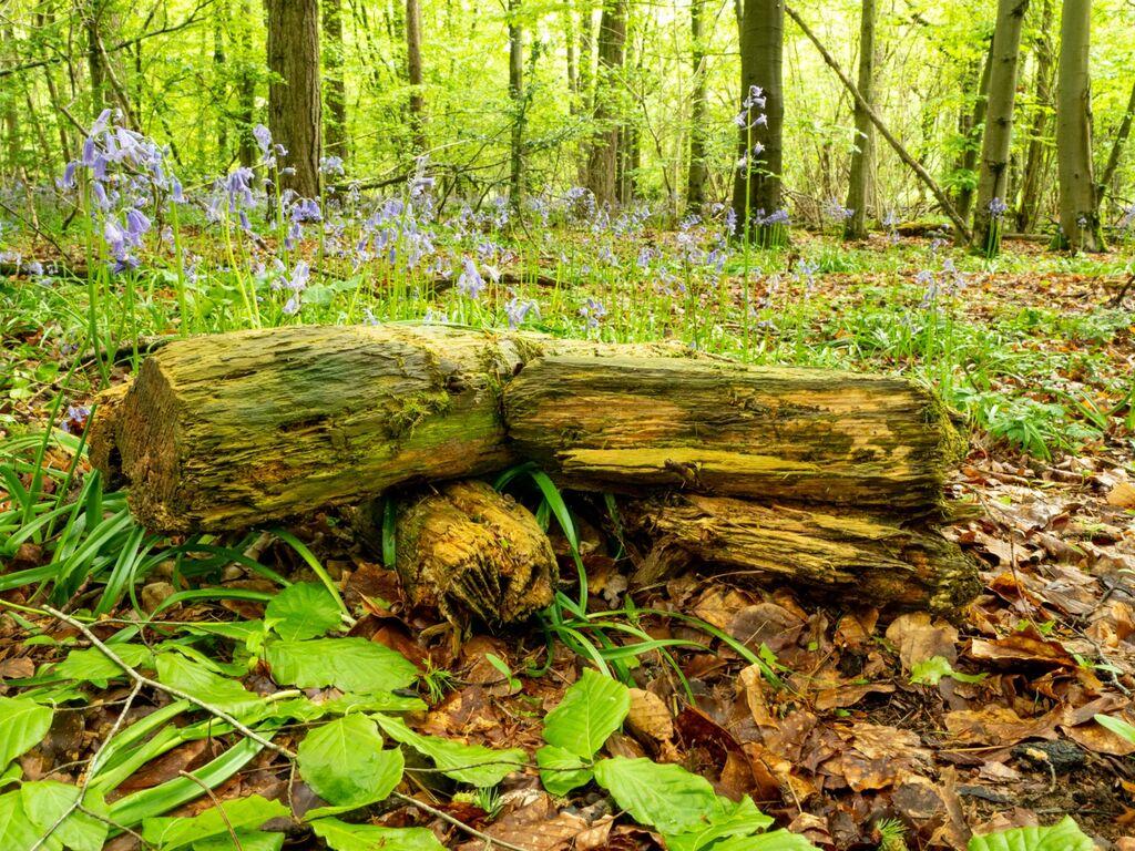 Stoke Woods Bluebells