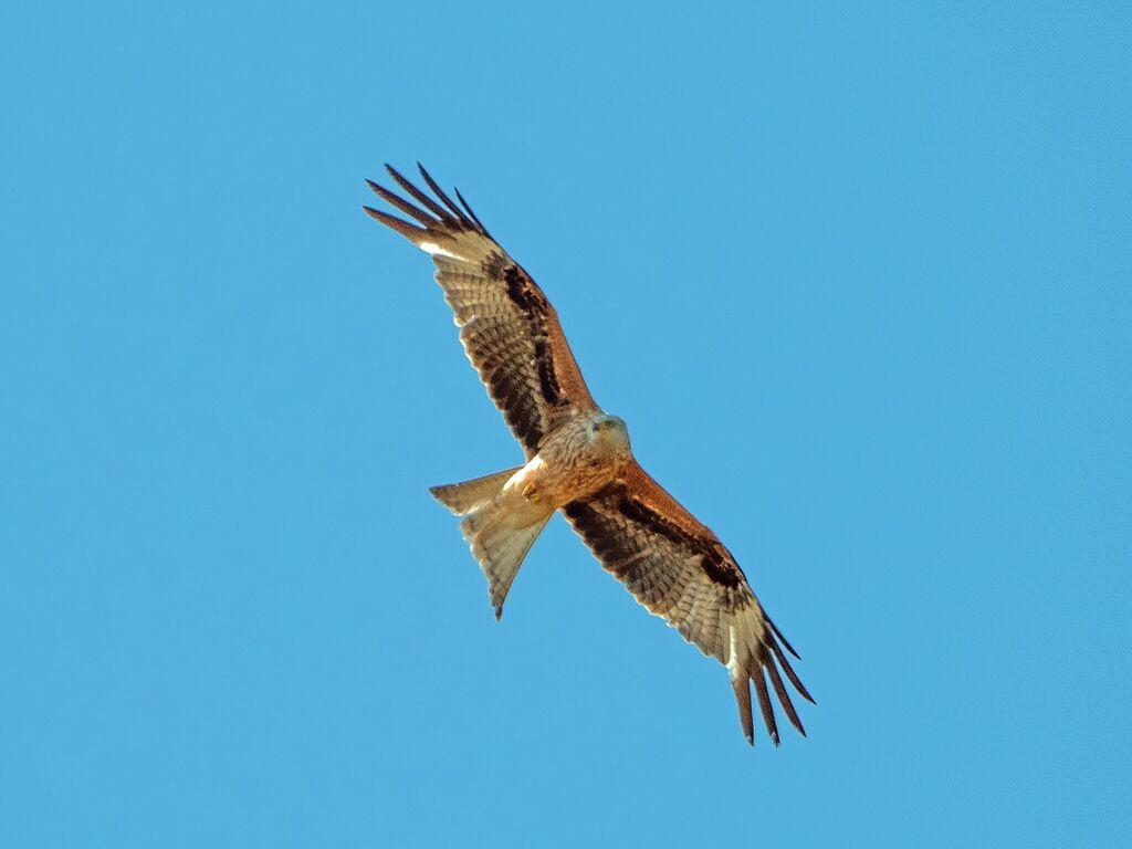 Astwick Red Kite 2