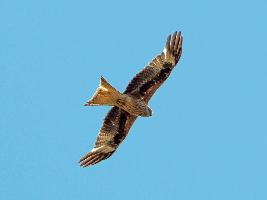 Astwick Red Kite 4