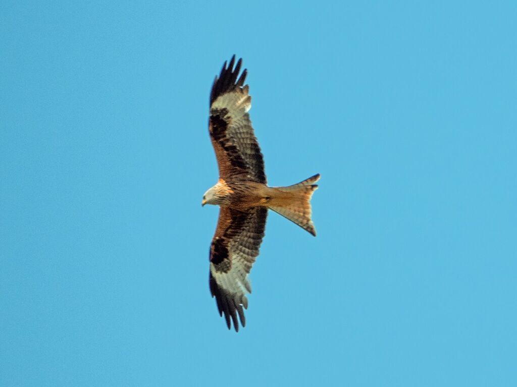 Astwick Red Kite 5