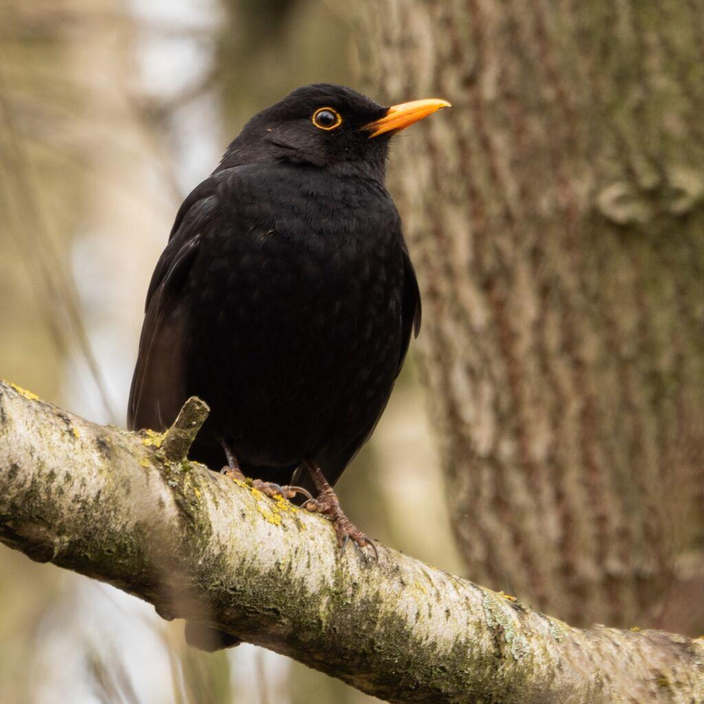 Blackbird, Spiceball Park