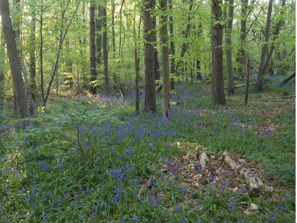 Bluebells at Stoke Woods