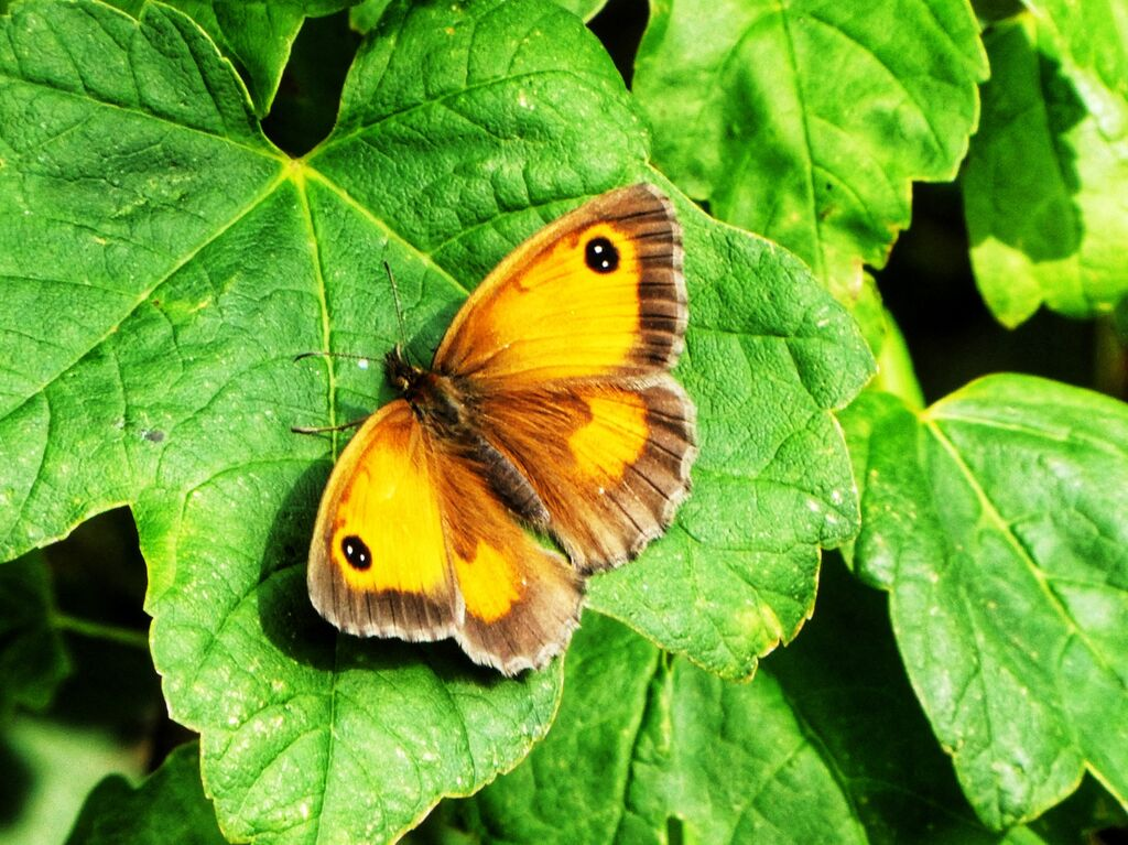 Gatekeeper Butterfly at Adderbury Lakes