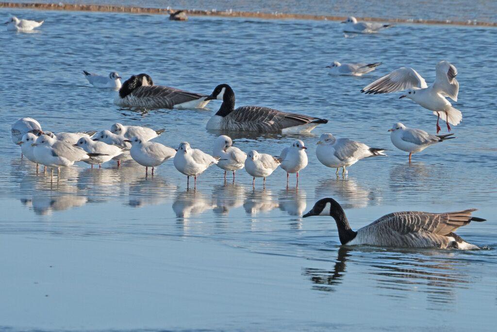 Caanada Geese and Gulls, Banbury Country Park