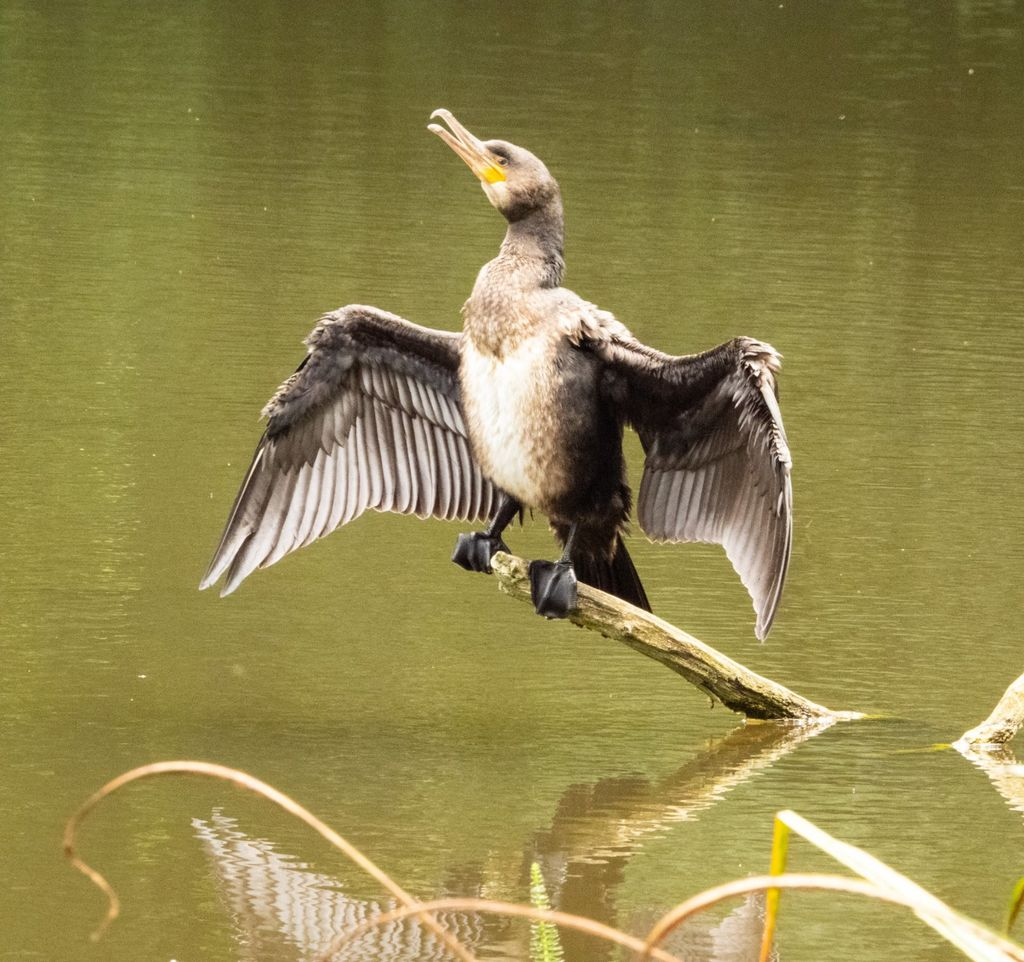 Cormorant (1) at Farnborough