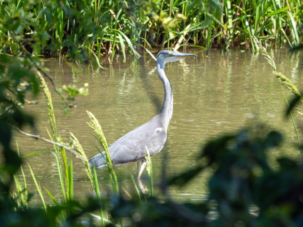 Cotswold Heron