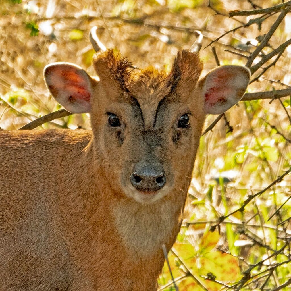 Muntjac, Banks of the River Cherwell