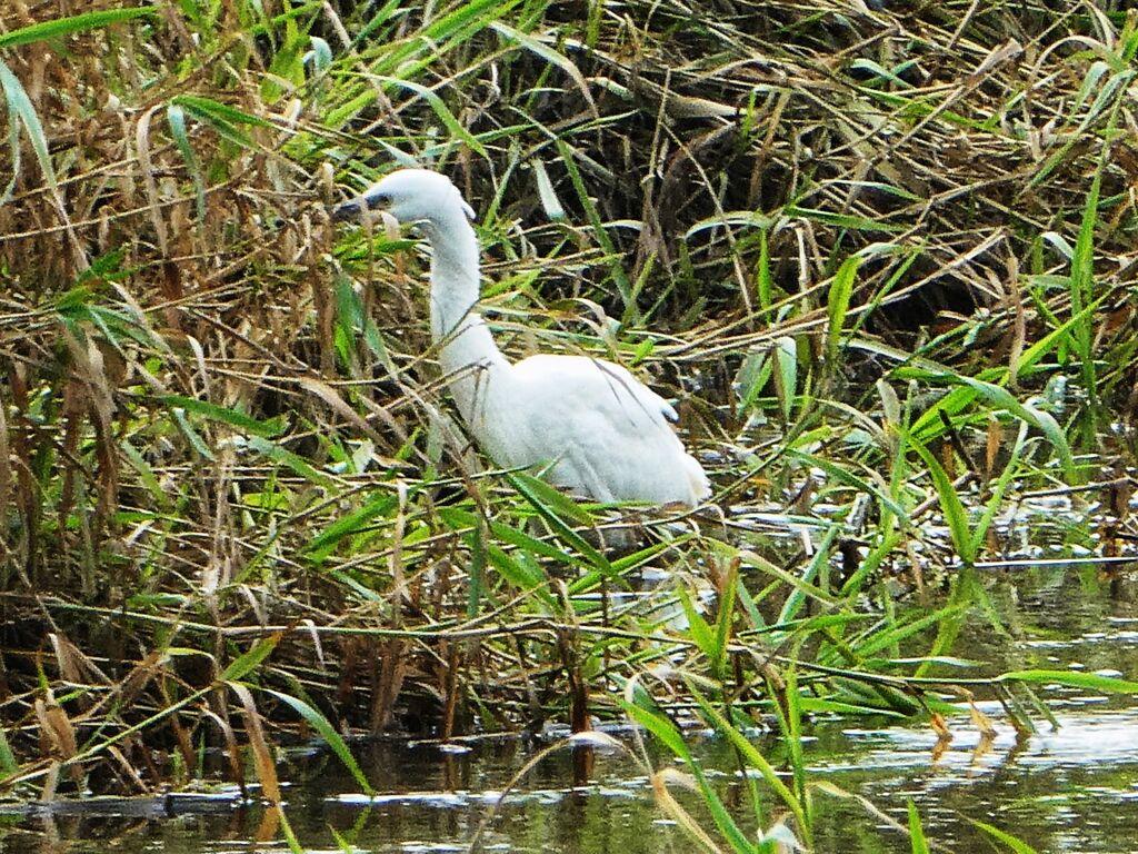 Egret at Alfriston, East Sussex