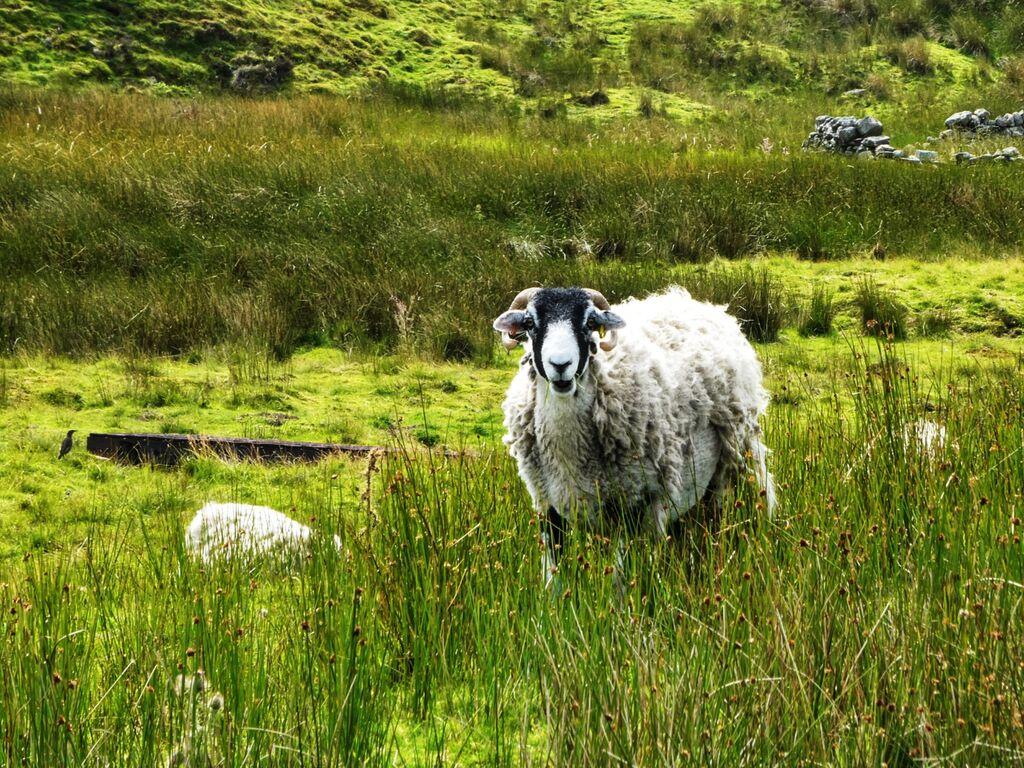 Ewe on the Moors Near The Tan Hill Inn