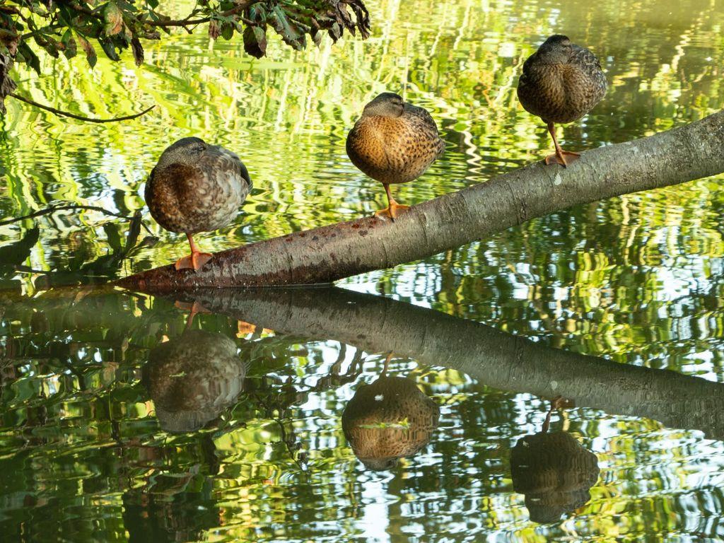 Left Leg Up & Eyes Left! 3 resting ducks at Farnborough