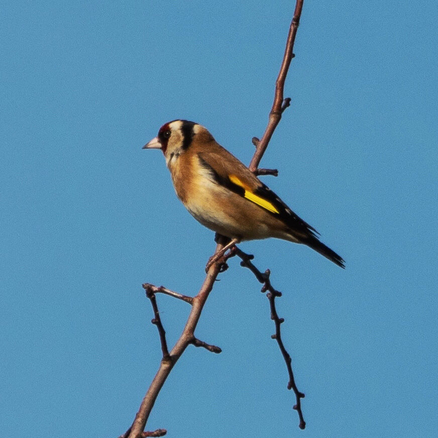 Goldfinch, Banbury Country Park
