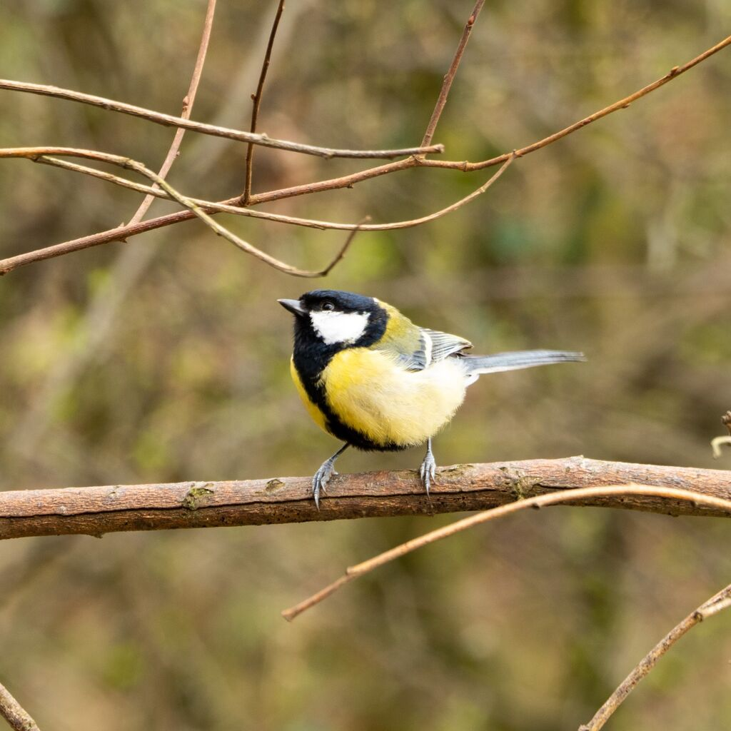 Great Tit, Spiceball Park