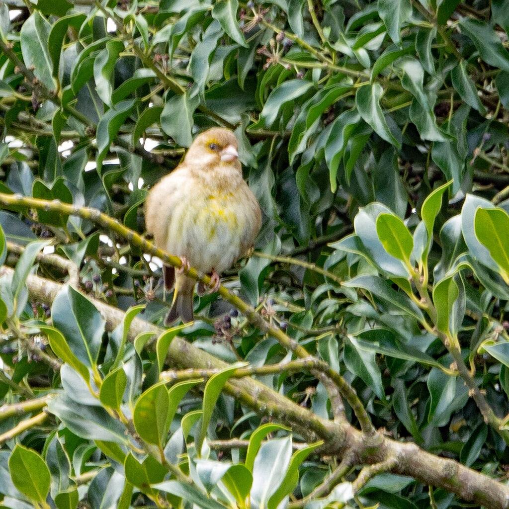 Greenfinch, Grimsbury Reservoir