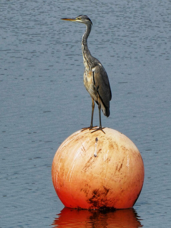 Heron, Grimsbury Reservoir