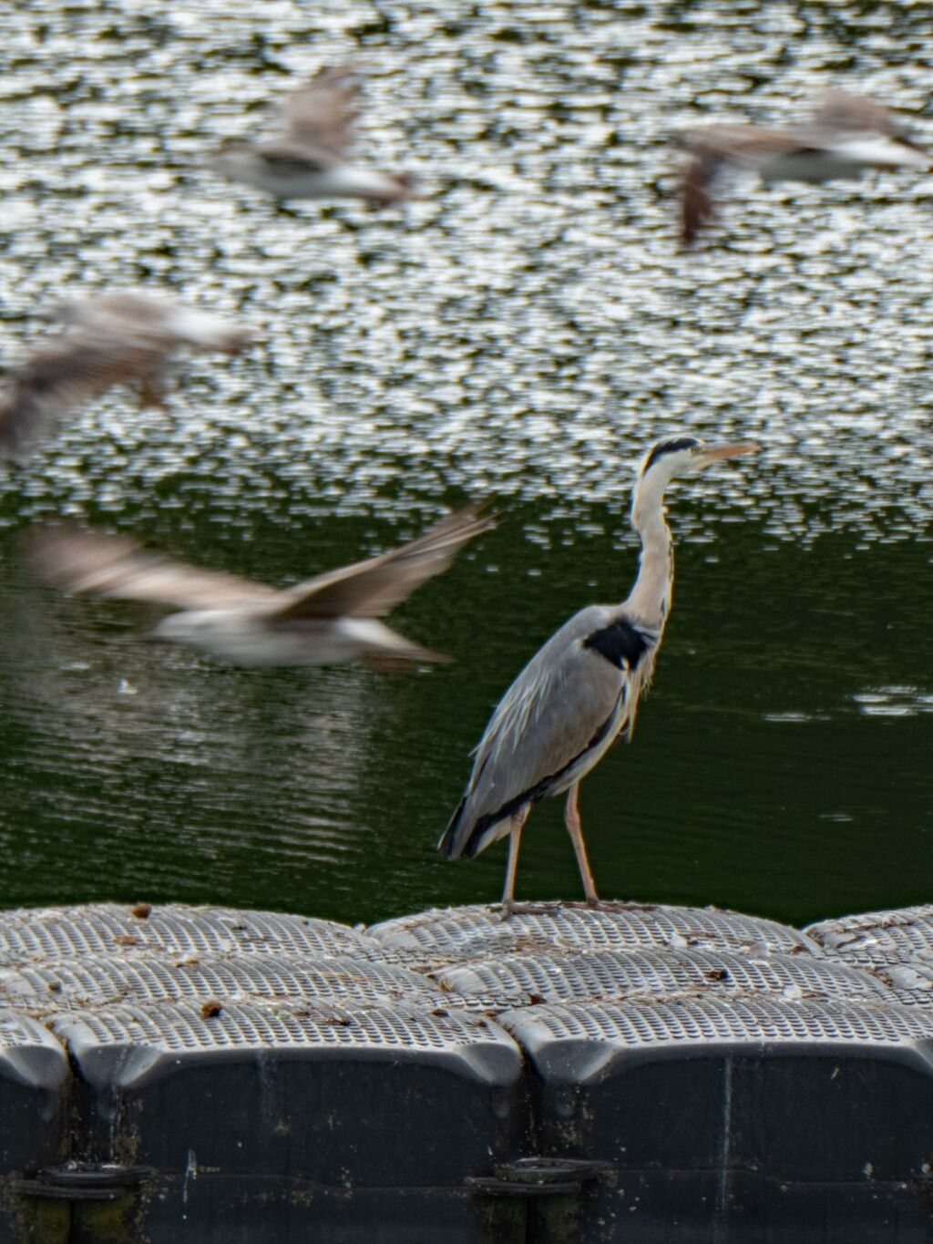 Heron Stands His Ground, Seagulls Take Flight