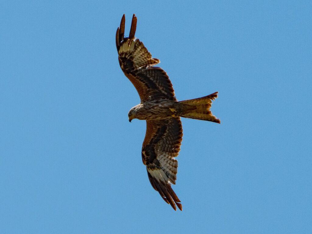 Hook Norton Red Kite 1