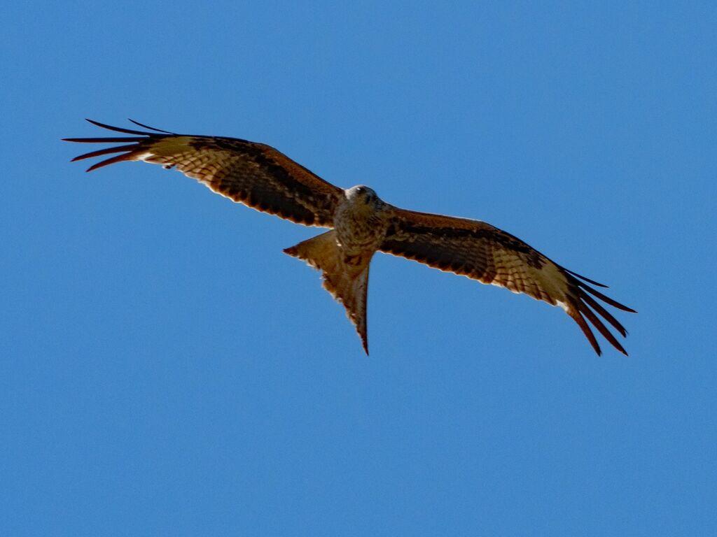 Hook Norton Red Kite 2