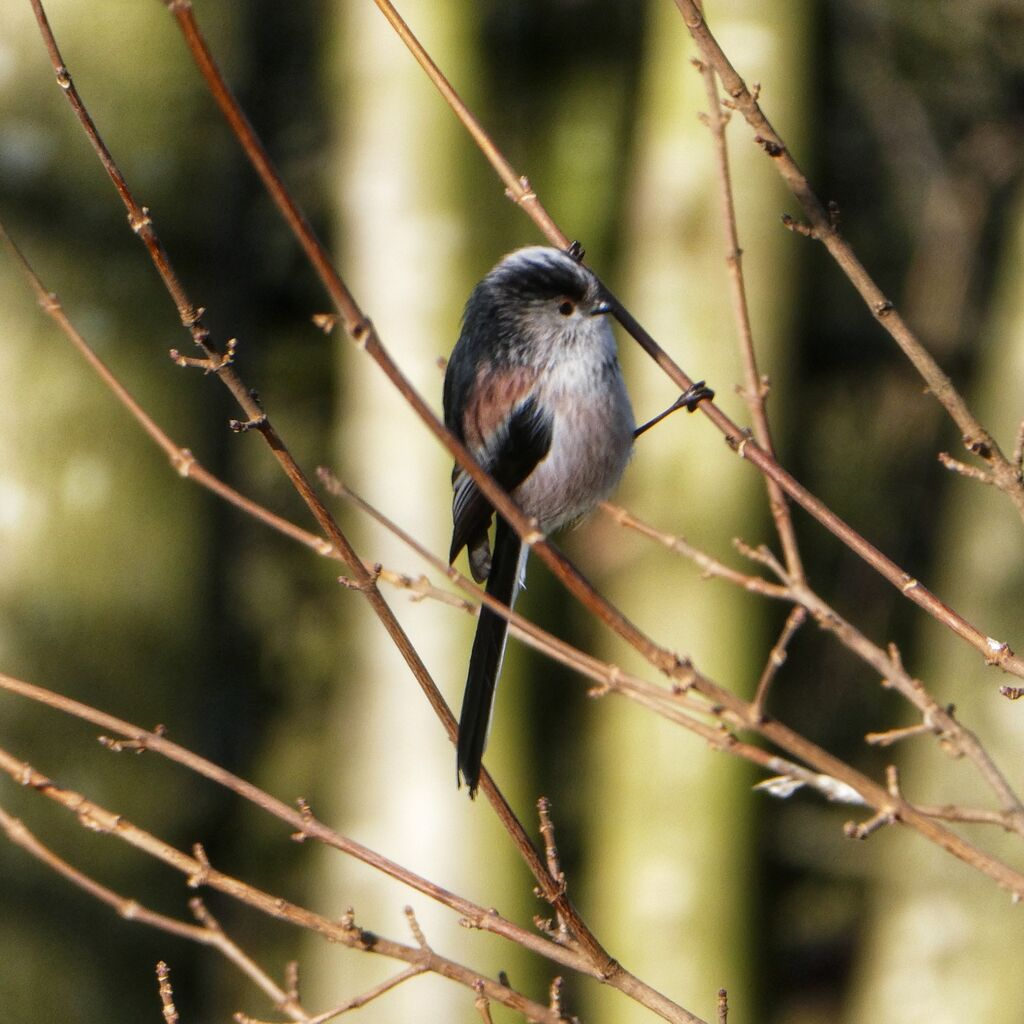 Long Tailed Tit, Spiceball Park