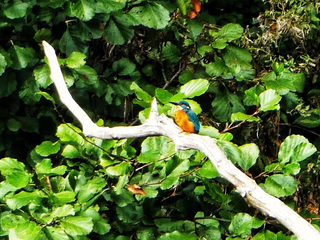 Kingfisher No. 6
