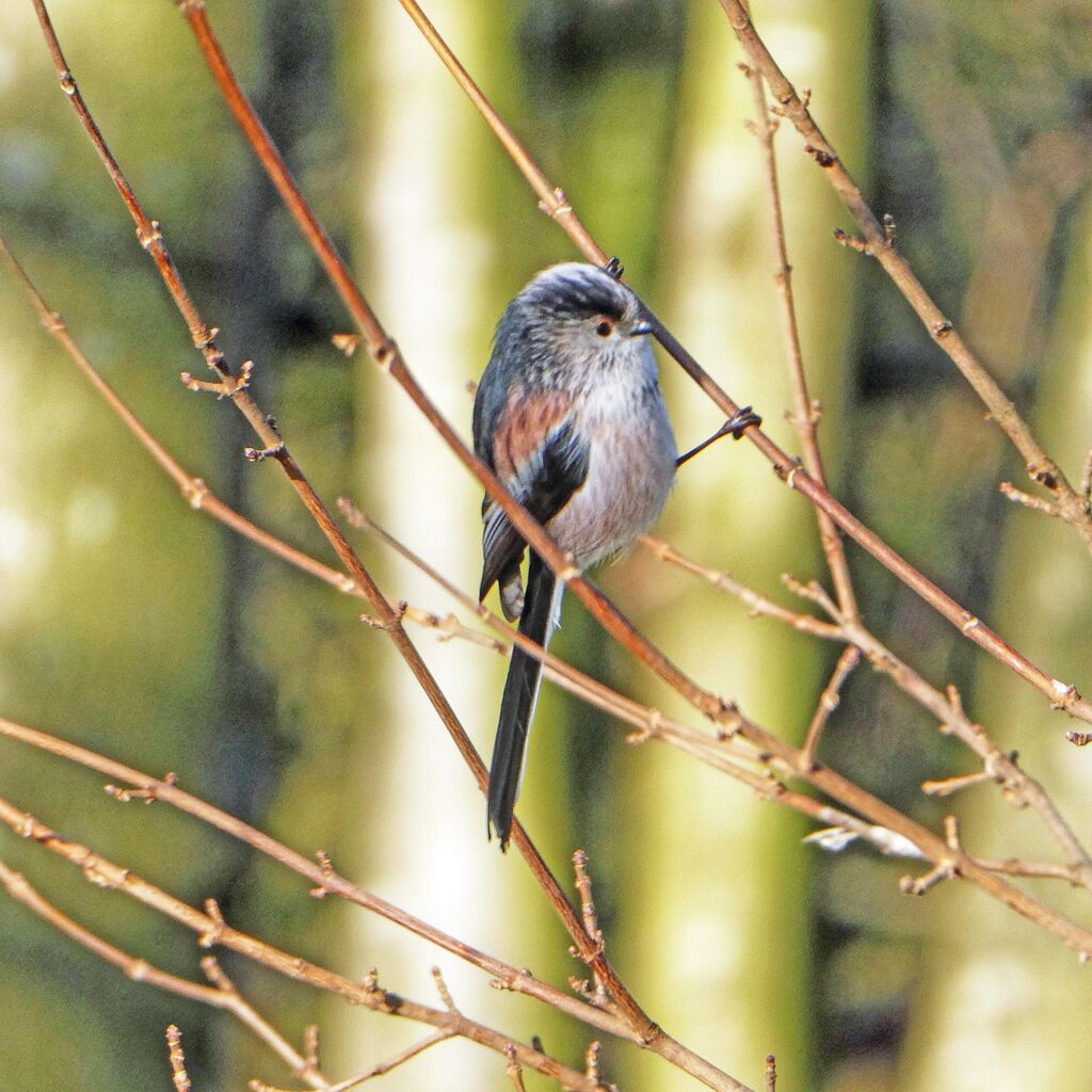 Spiceball Parl Long Tailed Tit 4