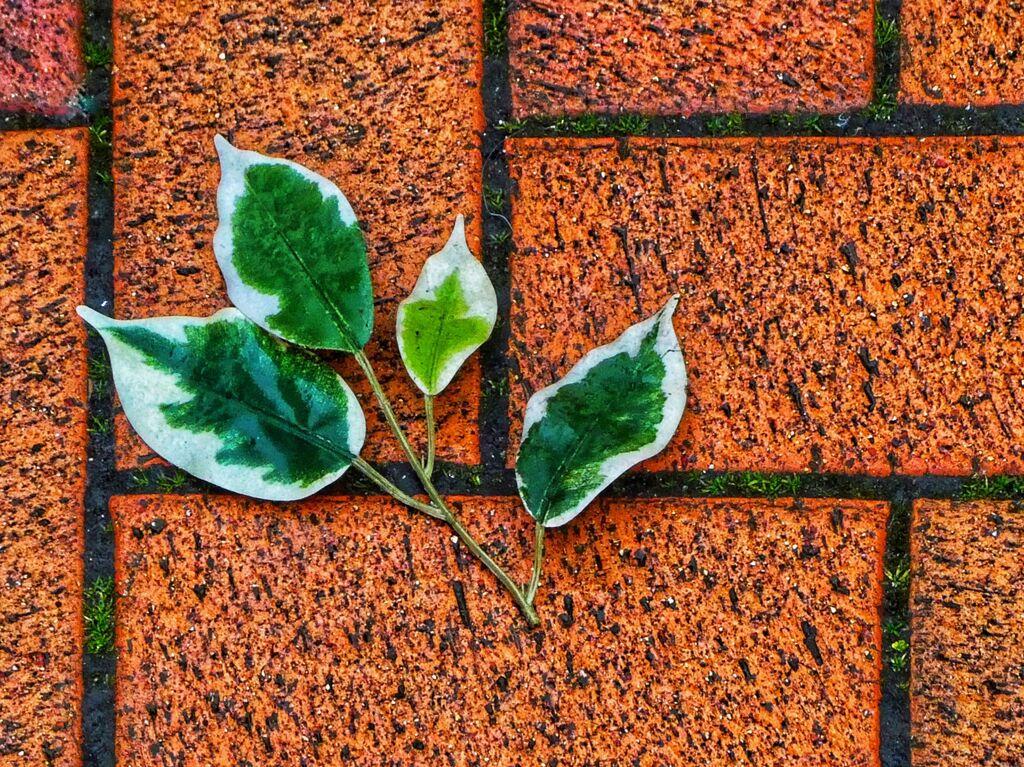 Fallen Fig Leaf