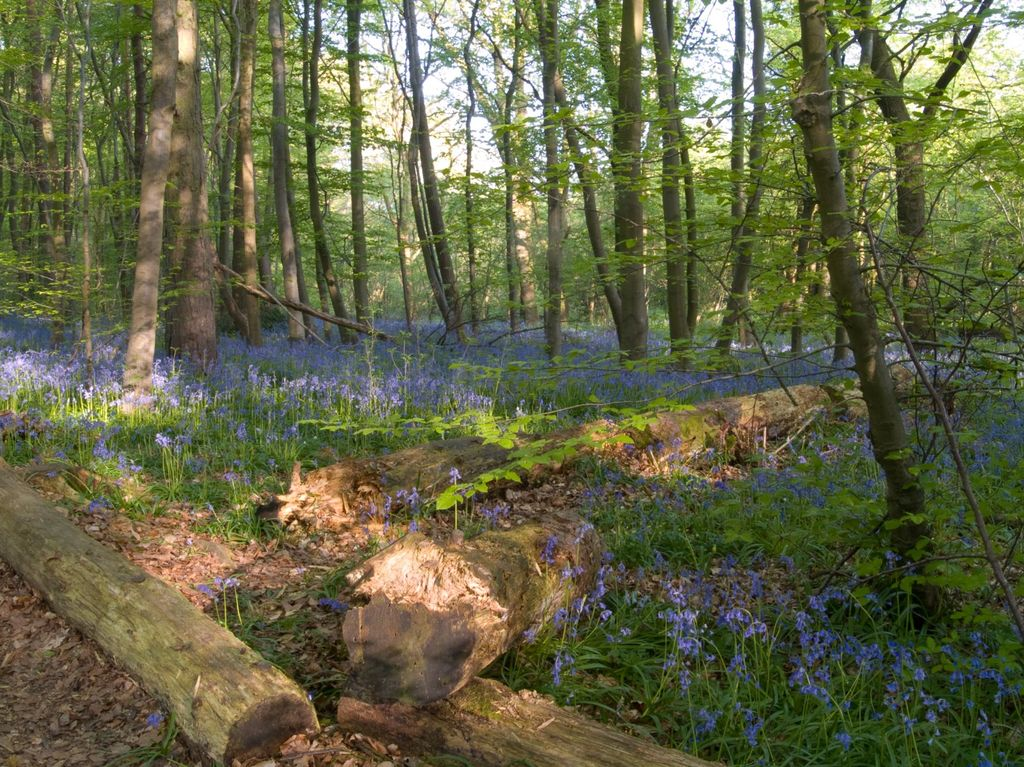 May Bluebells at Stoke Woods