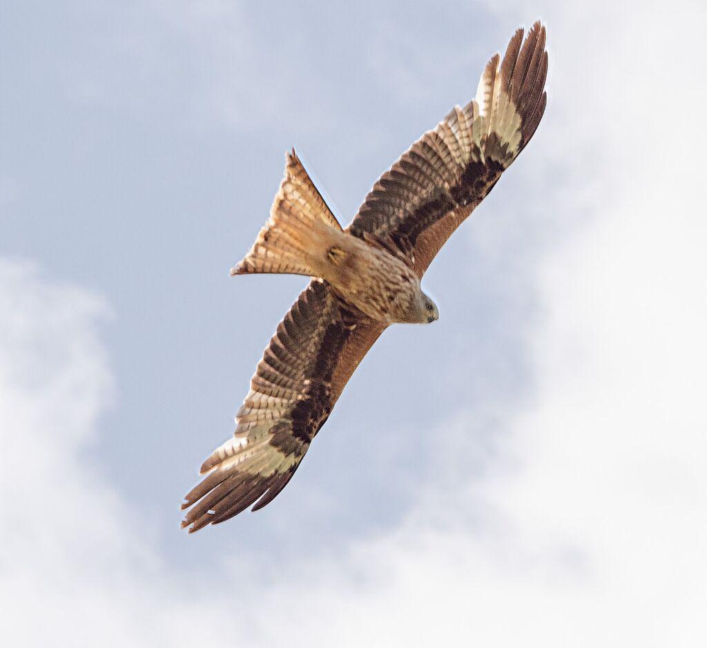 Mollington Red Kite 2
