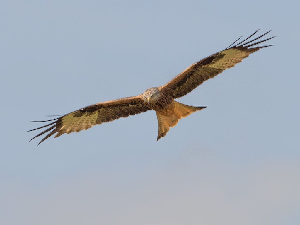 Mollington Red Kite 6