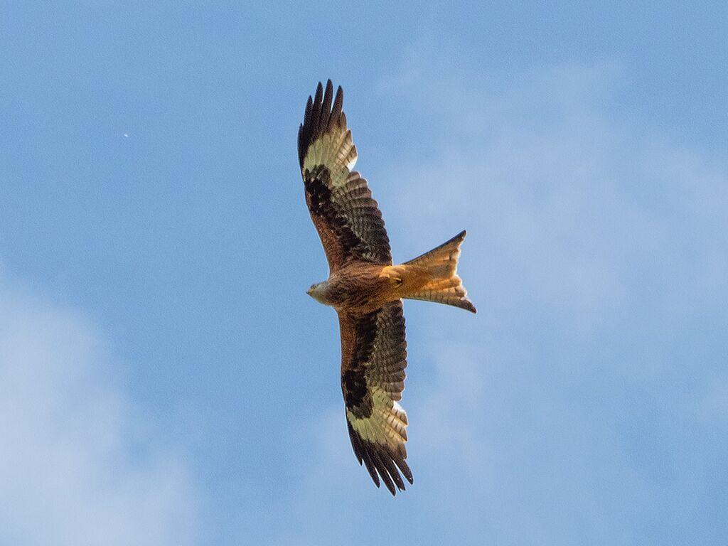 Mollington Red Kite 7