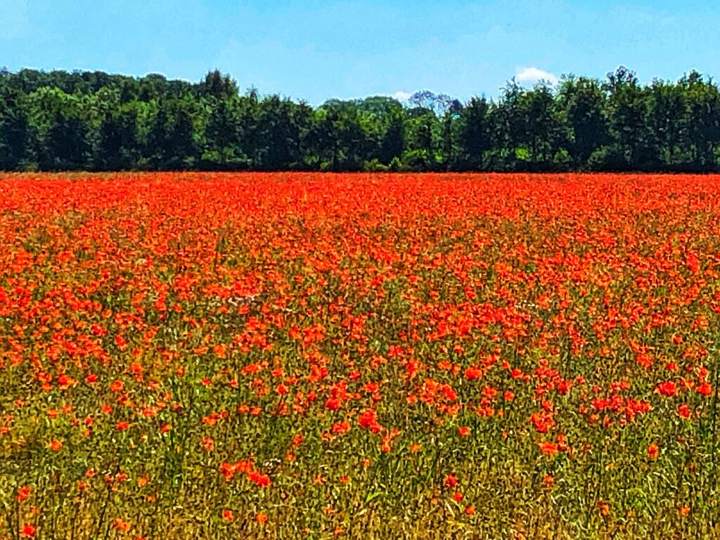Poppies between Upper Swell and Condicote