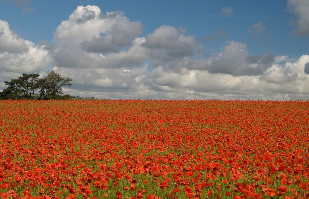 Poppies near to Lower Swell