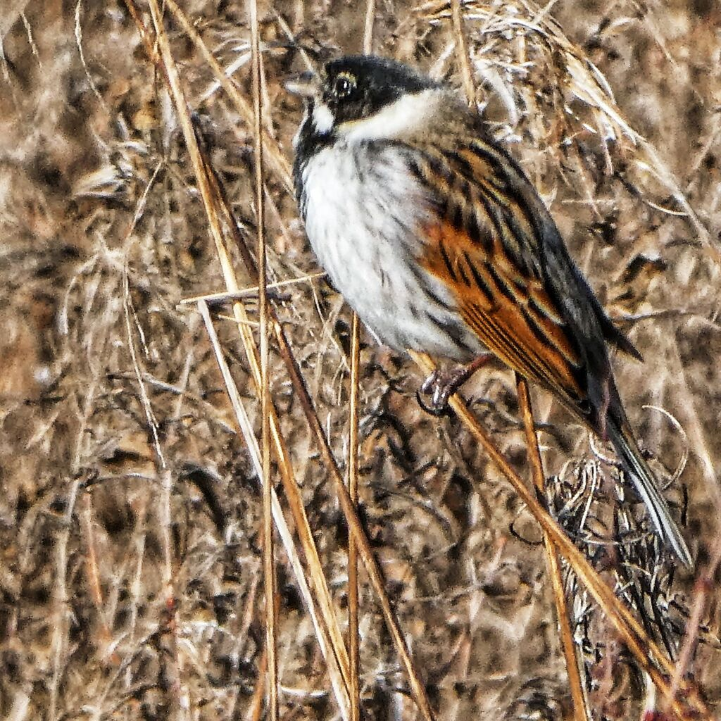 Common Reed Bunting, Meadow next to the River Cherwell