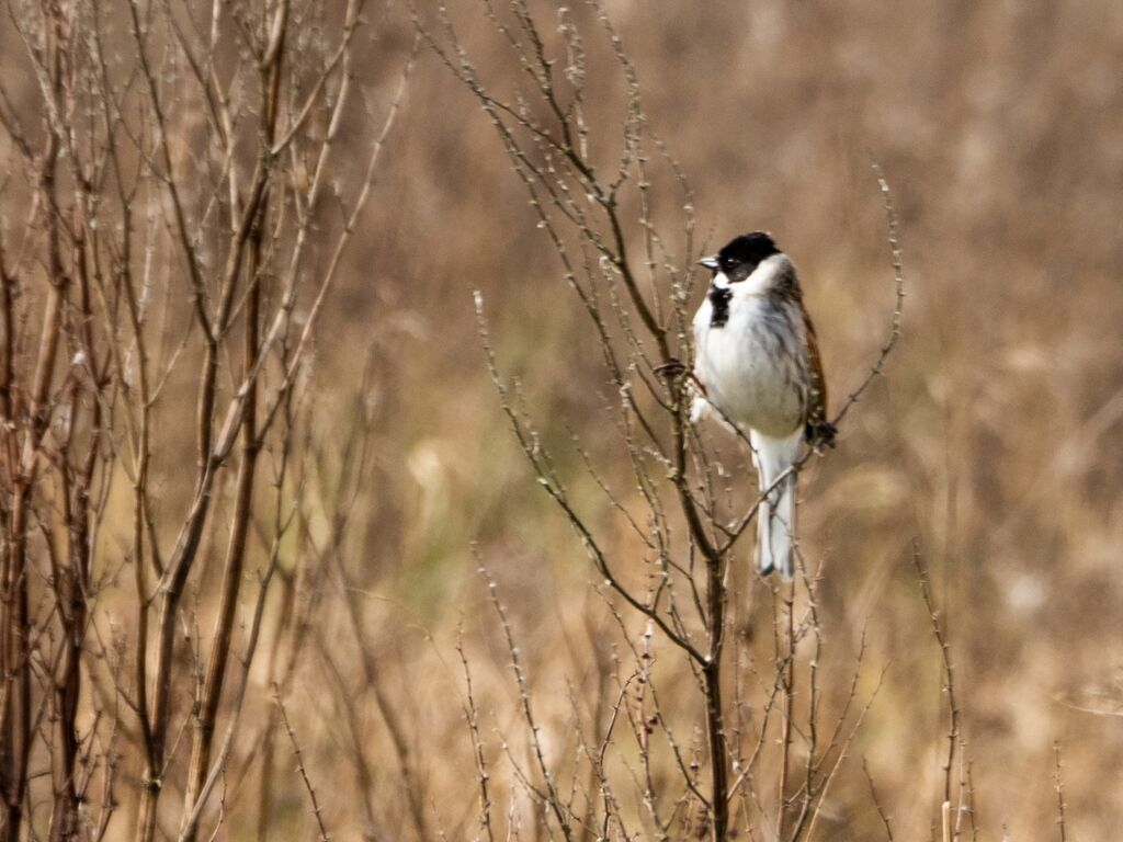 Reed Bunting, Meadow Next To The River Cherwell