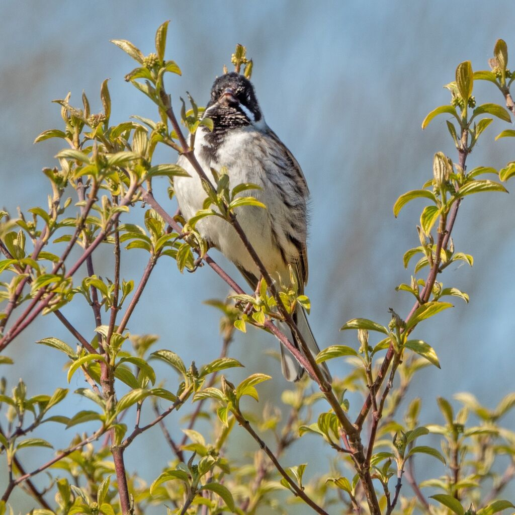Reed Bunting, Banbury Country Park