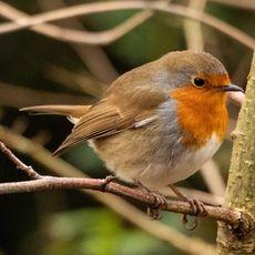 Robin (2) at Adderbury Lakes