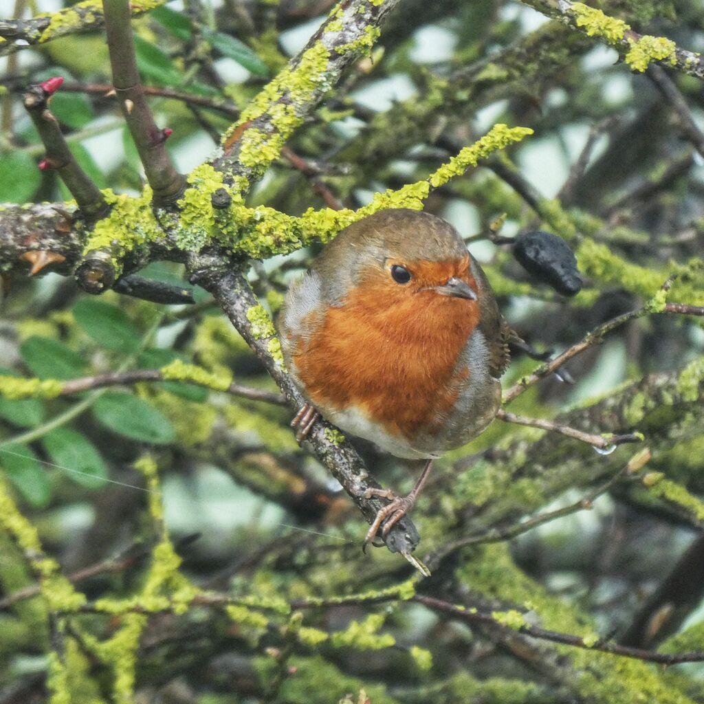Robin, Grimsbury Reservoir