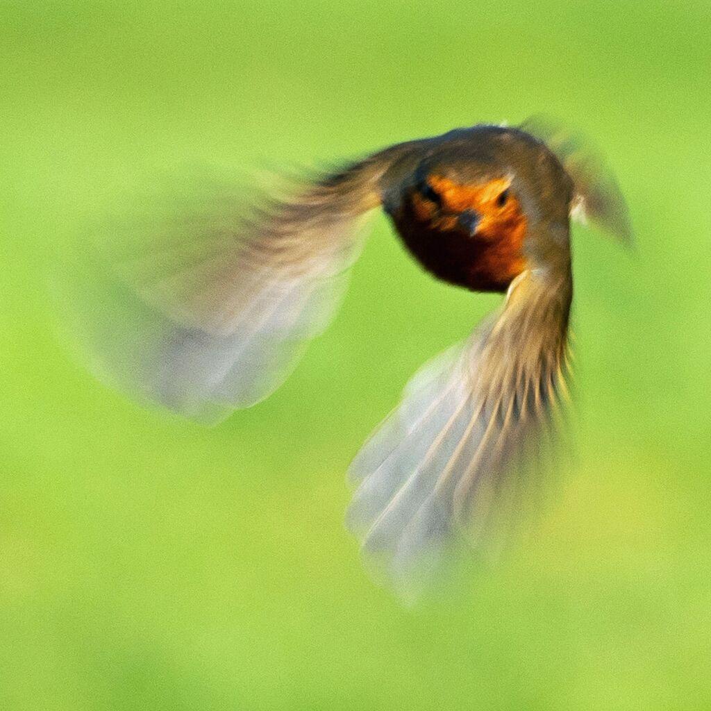 Robin In Flight, Grimsbury Reservoir