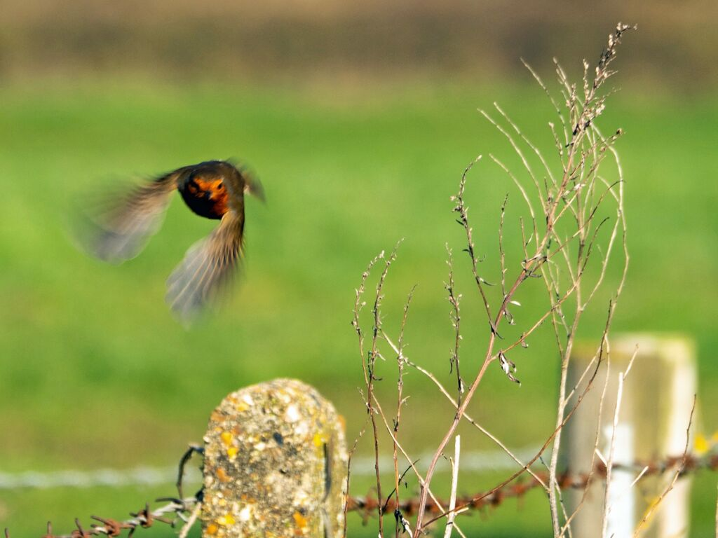 Robin in Flight, Grimsbury Reservoir