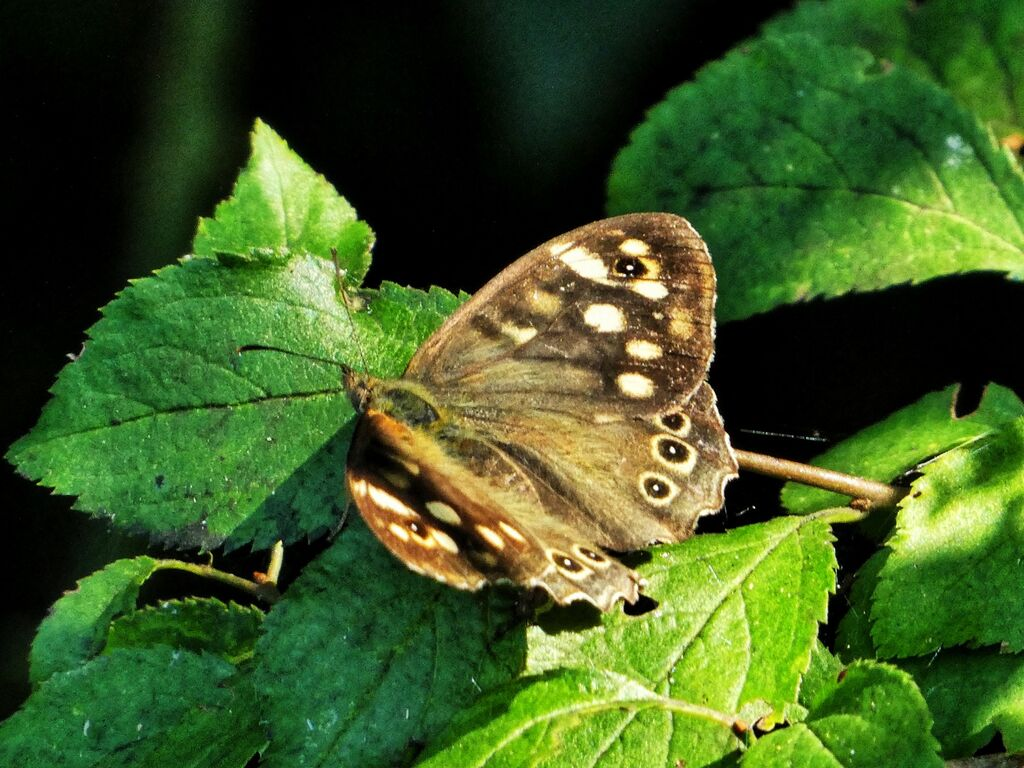 Speckled Wood Butterfly at Farnborough