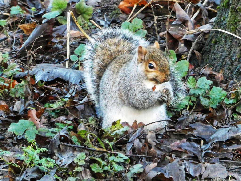 Spiceball Park Squirrel