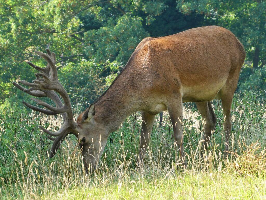 Stag at Adderbury Lakes Nature Reserve