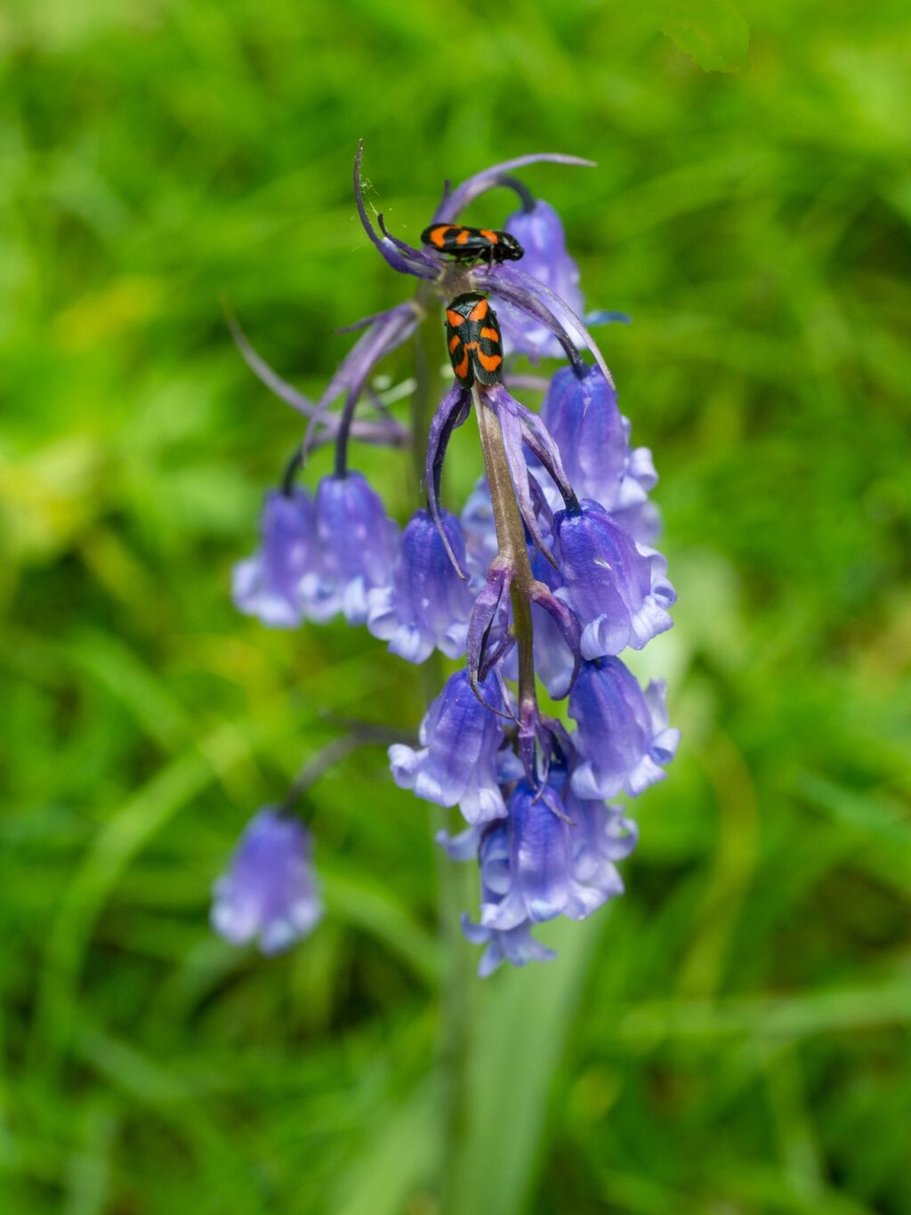 Stoke Woods Bluebells and Insects