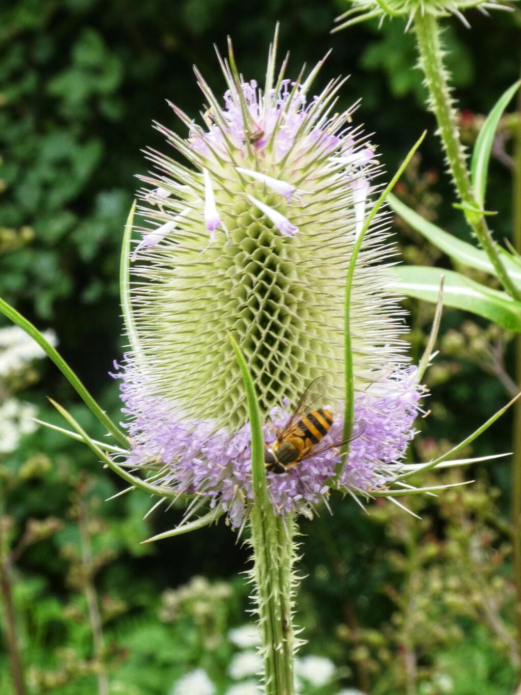 Teasel at Adderbury Lakes