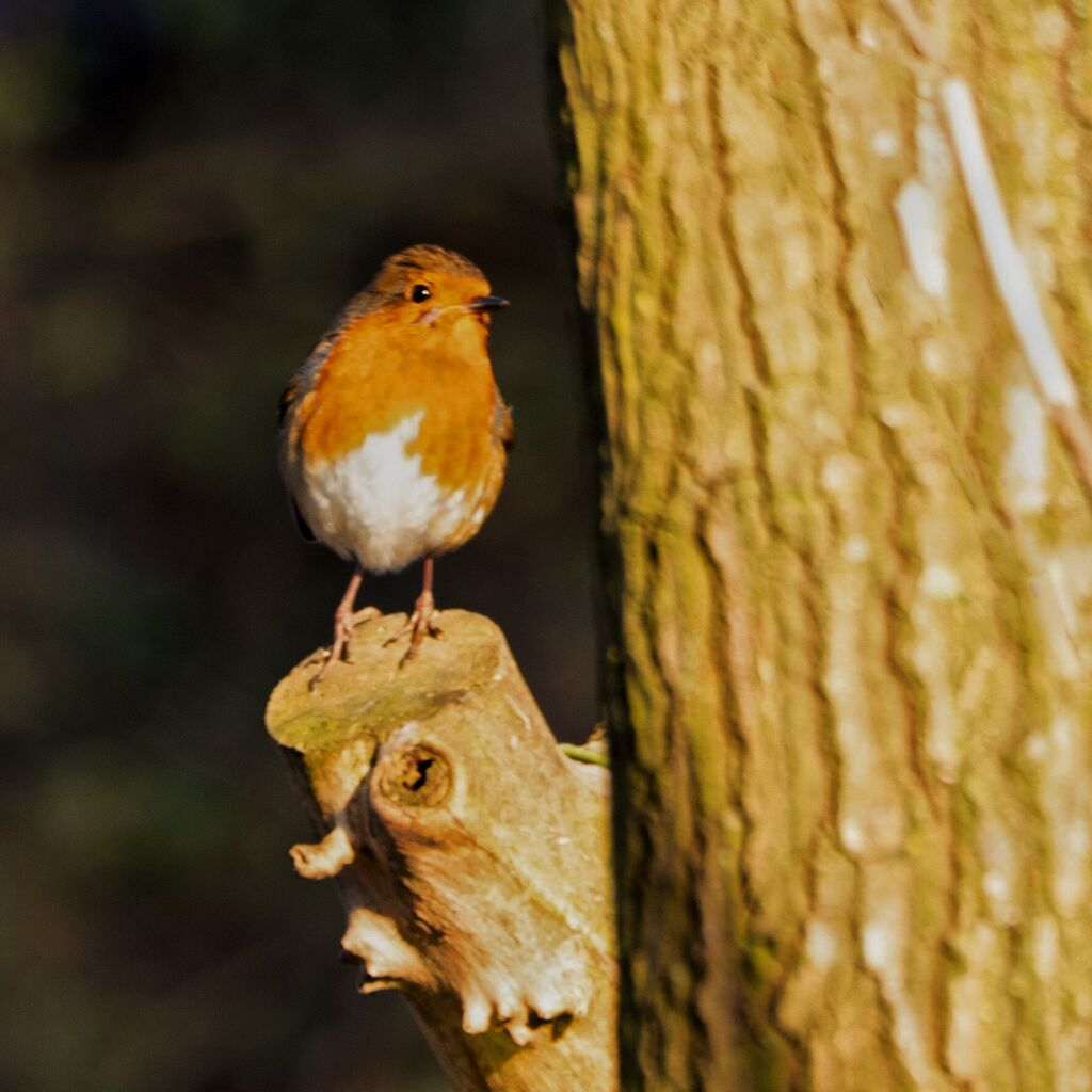 Robin, Oxford Canal Towpath
