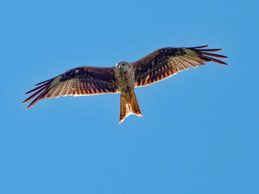 Watlington Hill Red Kite 29