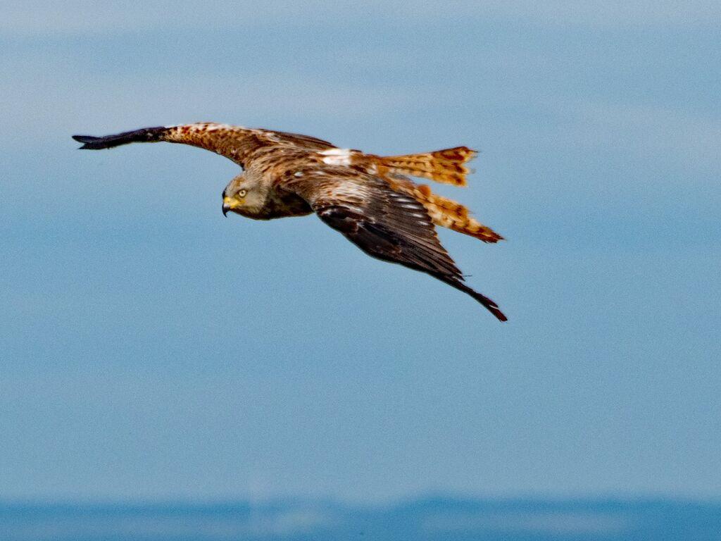 Watlington Hill Red Kite 30